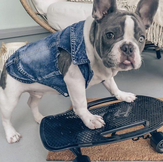 bulldog in vest on skateboard