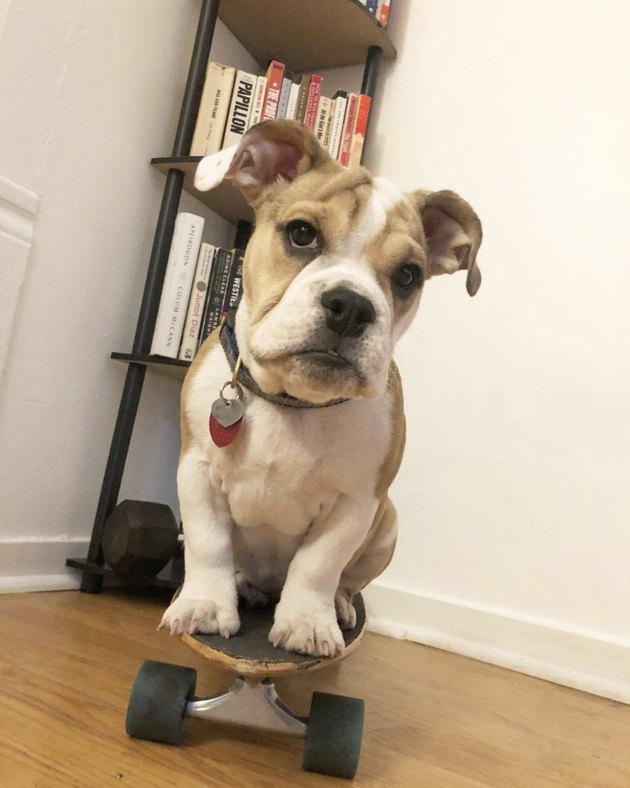 bulldog on skateboard