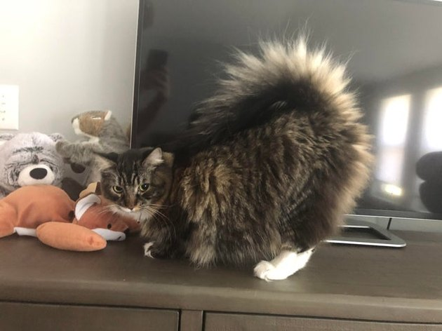 Cat with fluffy tail