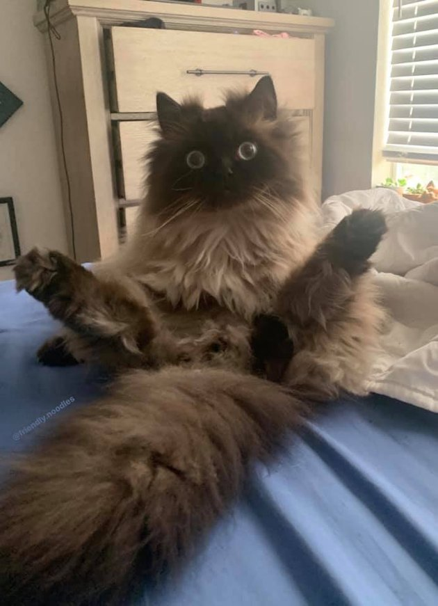 ragdoll cat with legs in the air