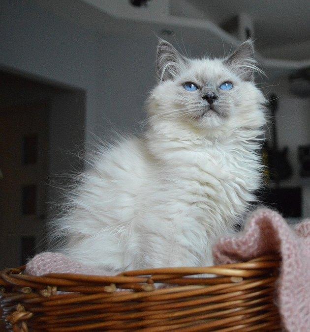 Ragdoll kitten sitting in basket