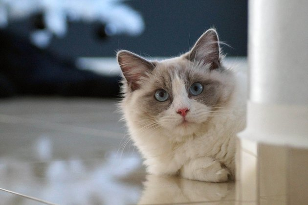 Ragdoll cat with blue eyes