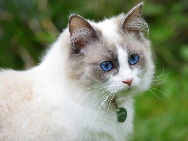 Ragdoll cat outdoors