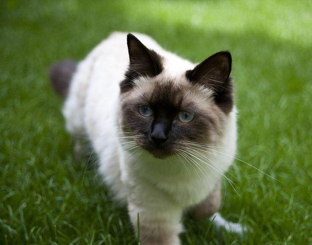 Ragdoll cat outdoors on grass