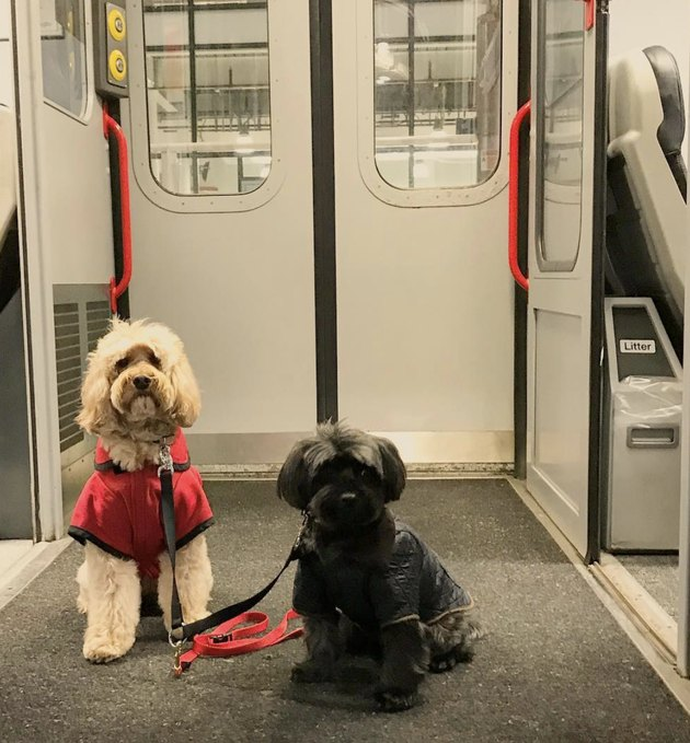 two dogs on train