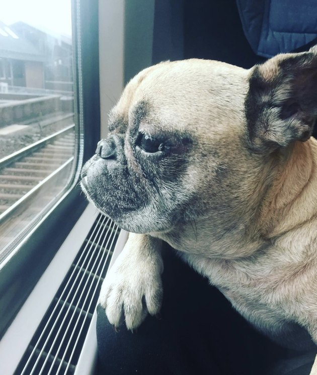 dog looking out train window