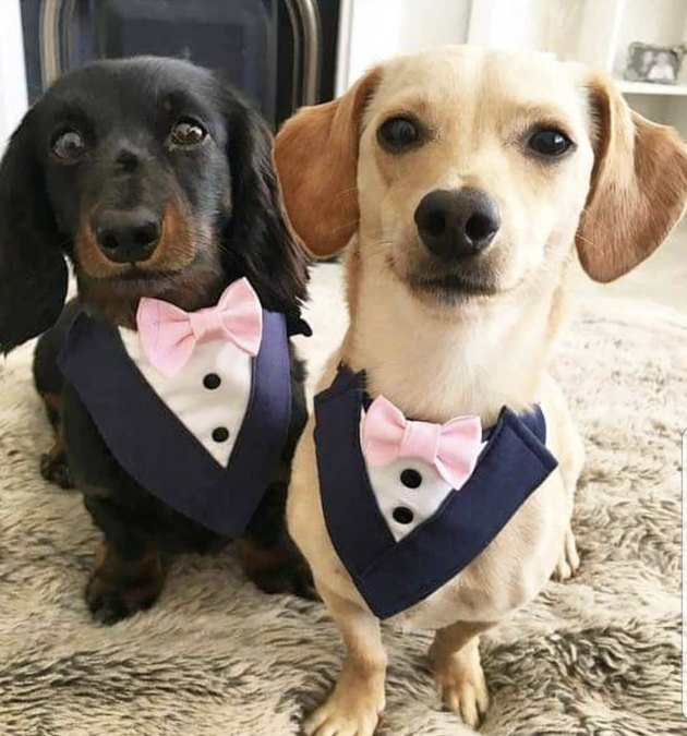 two dogs in tuxes