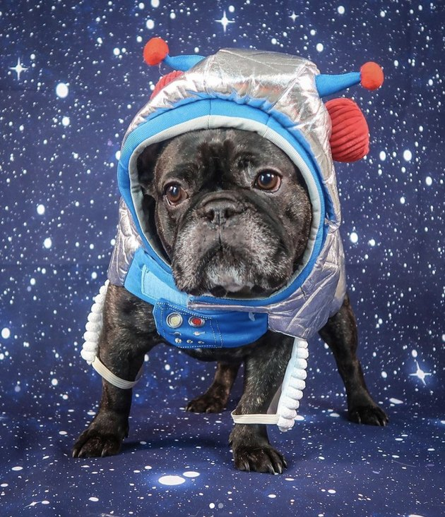 frenchie in astronaut costume