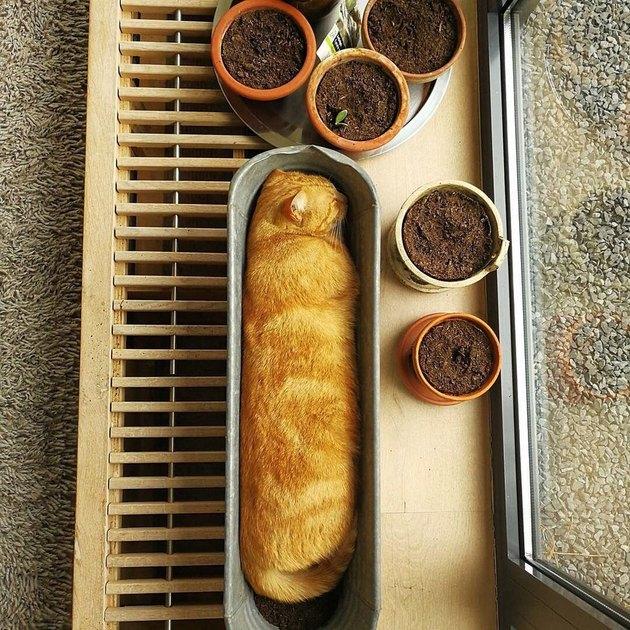 Orange cat in long loaf shape
