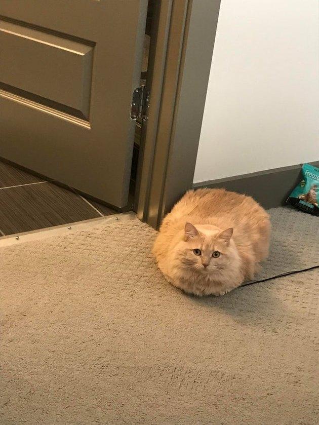 Large orange cat sitting in loaf shape