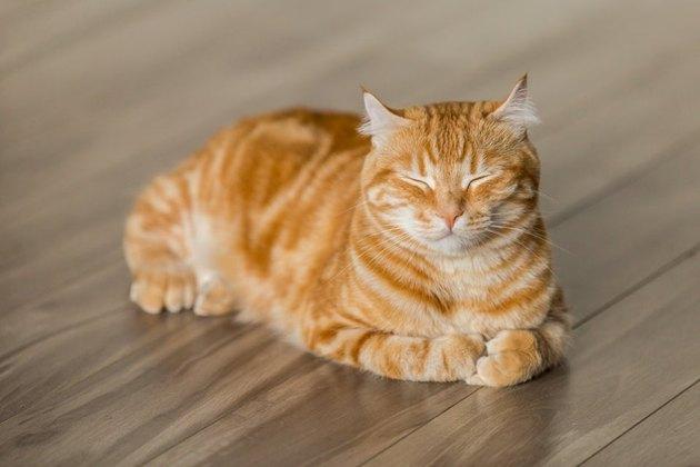 Orange striped cat sitting in loaf shape