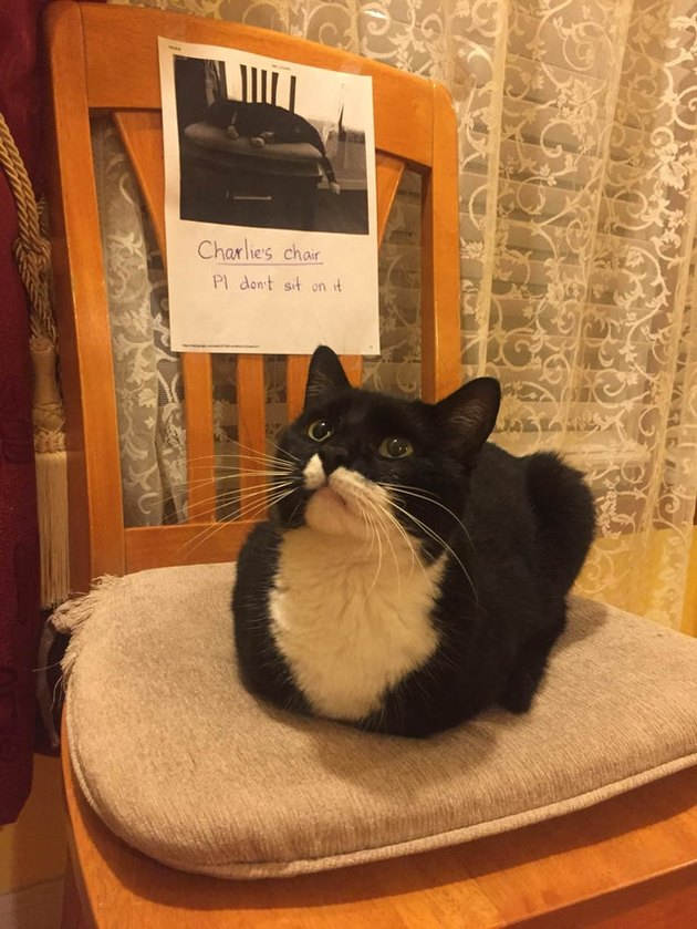 Cat sitting in loaf shape on chair