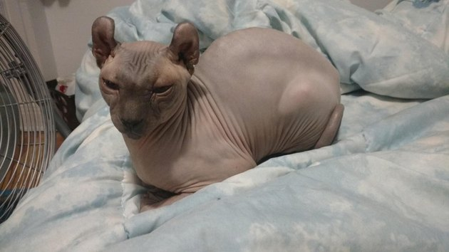 Hairless cat sitting in loaf shape