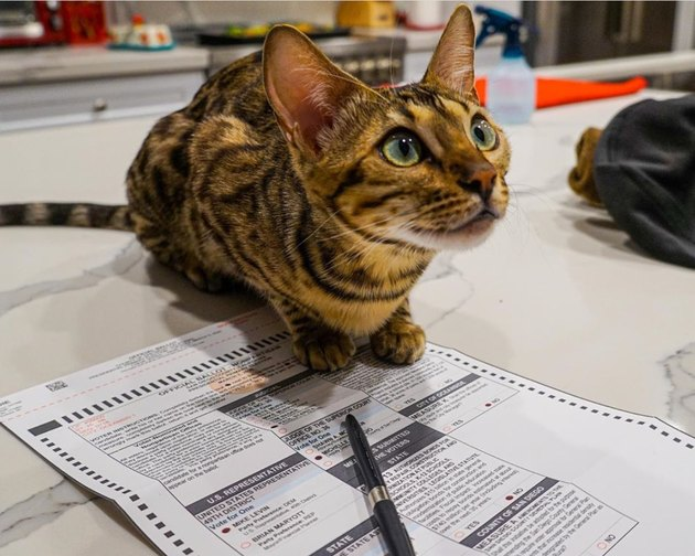 cat with ballot