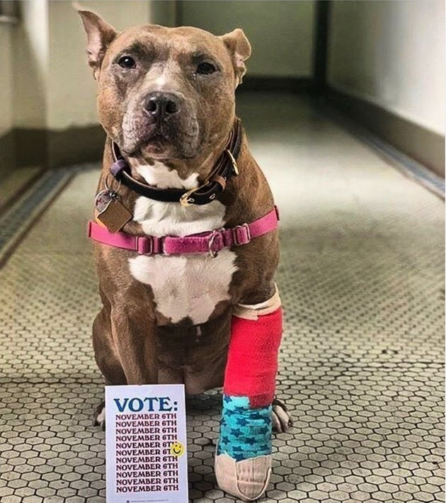 dog with broken leg and voting postcard