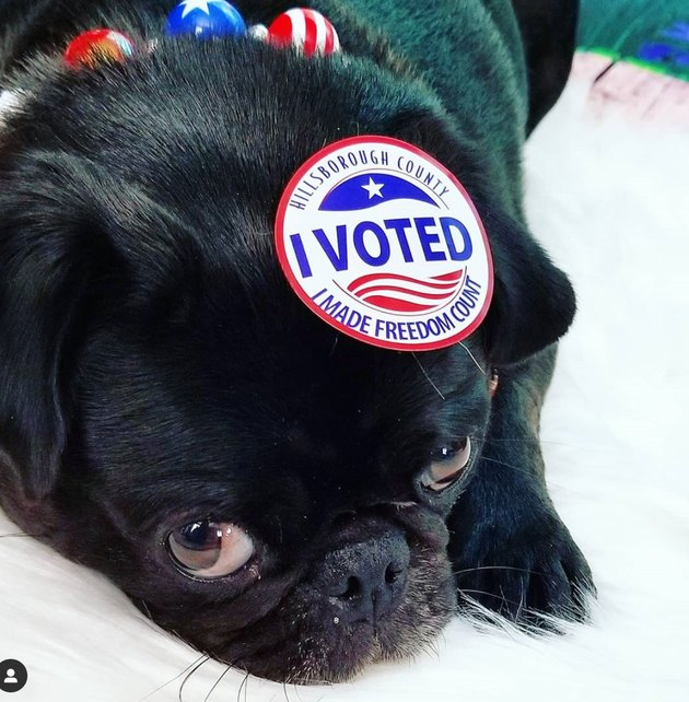 dog with i voted sticker on its head