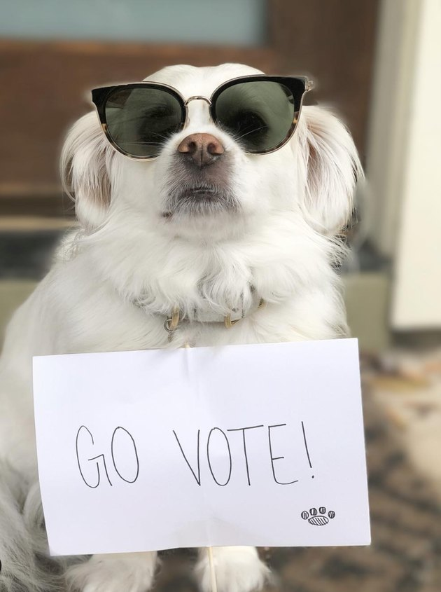 dog with sunglasses and go vote sign