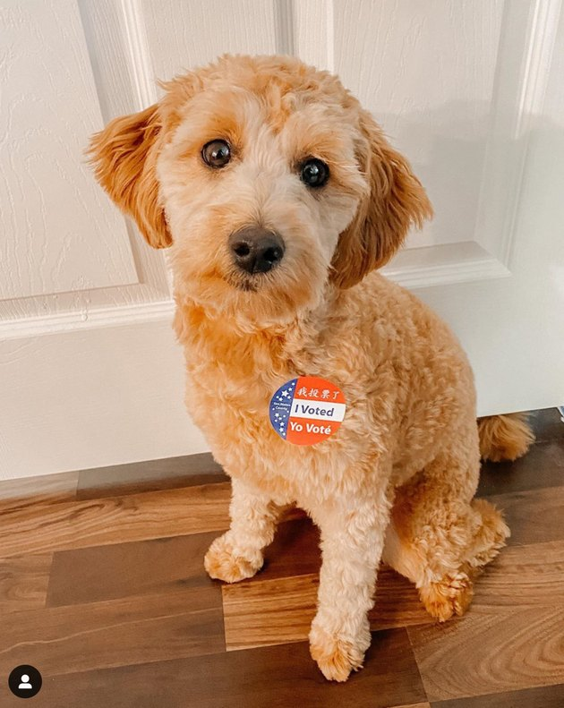 dog with i voted sticker