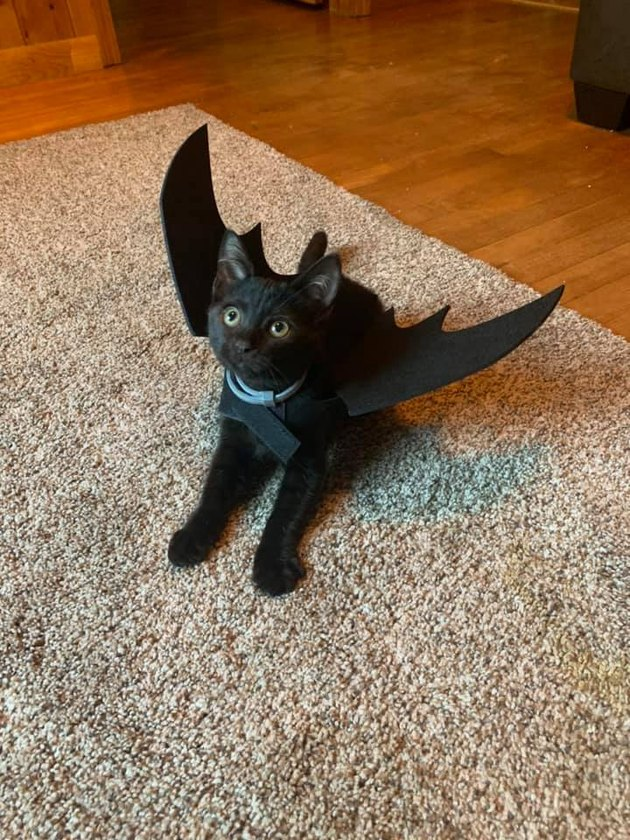 black cat in bat costume