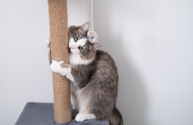gray cat is scratching a brown post. cat house on a white background