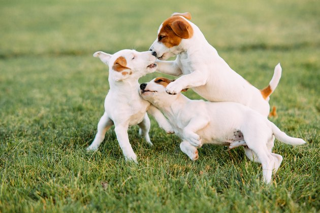 Three Jack Russell puppies play on the grass.