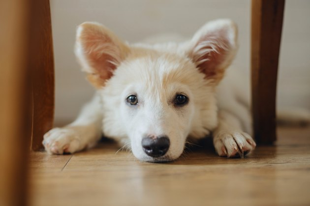 Cute puppy lying on wooden floor. Portrait of adorable white fluffy puppy with sweet look relaxing in room. Adoption concept