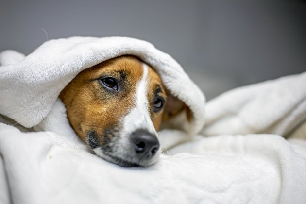 sick jack russell terrier lies with a white blanket thrown on top, comfort, horizontal,
