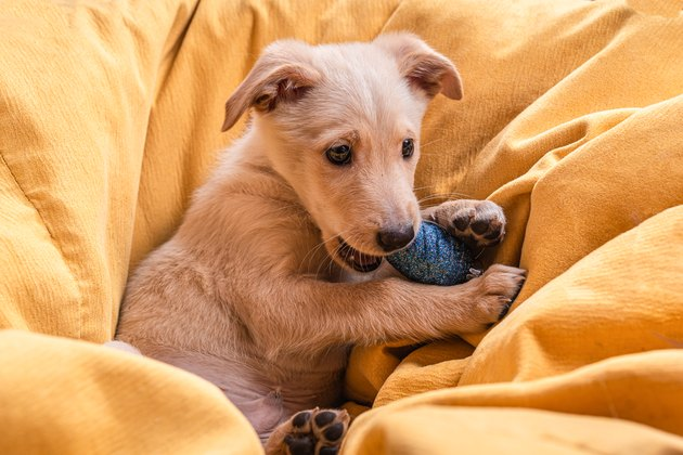 Very beautiful and cute mongrel puppy with light brown fur gnaws a blue Christmas tree toy lying on its back on a large yellow blanket