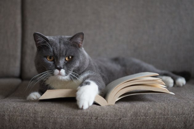 gray cat is reading a book