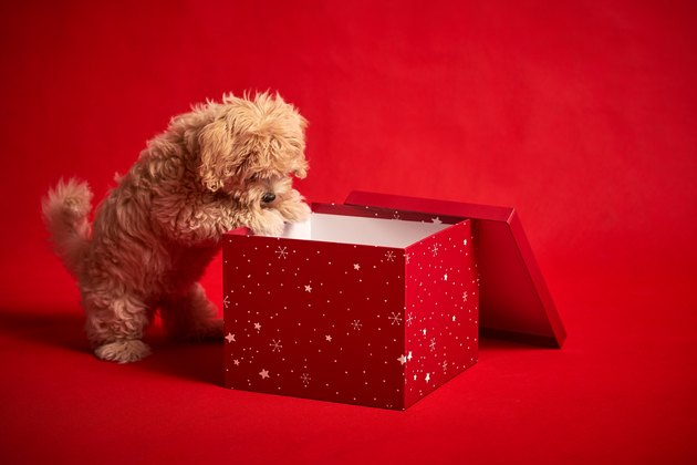 Puppy With Gift On Red Background