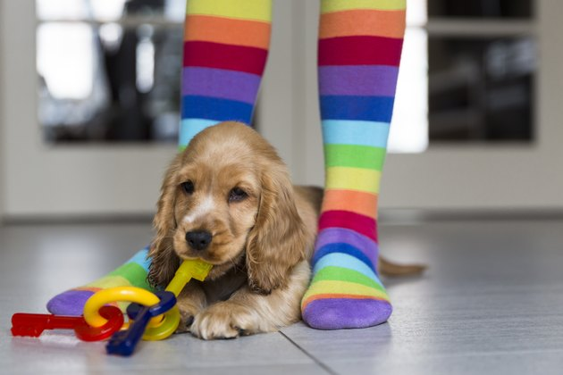 Low section of girl wearing colorful stockings standing by young English Cocker Spaniel on floor at home