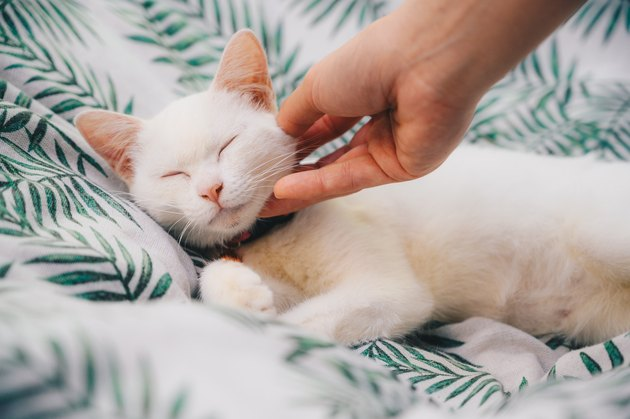 Someone hand scratching and plying a white cat while sleeping.