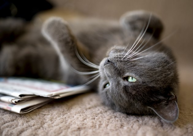 Close up of domestic cat lying on back next to newspaper