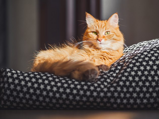 Cute ginger cat lying on black blanket. Fluffy pet comfortably settled to sleep. Hard sunlight on fuzzy domestic animal. Cozy home background.