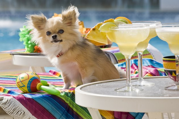 Chihuahua Next to Margaritas by Pool