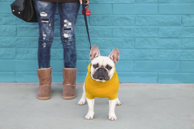 Portrait of French bulldog wearing yellow knit pullover