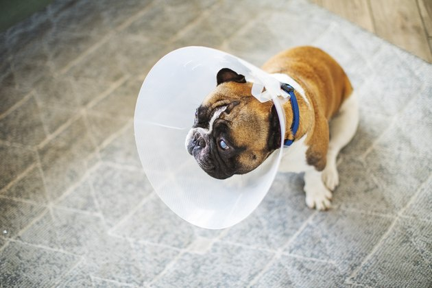 Senior dog with Elizabethan collar