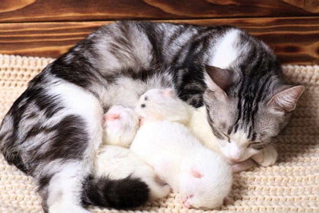 Very little white kittens with their black and white momma