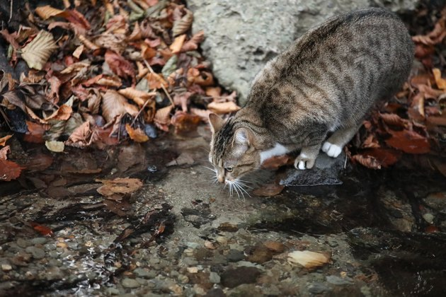 Cat who wants to drink water at the creek