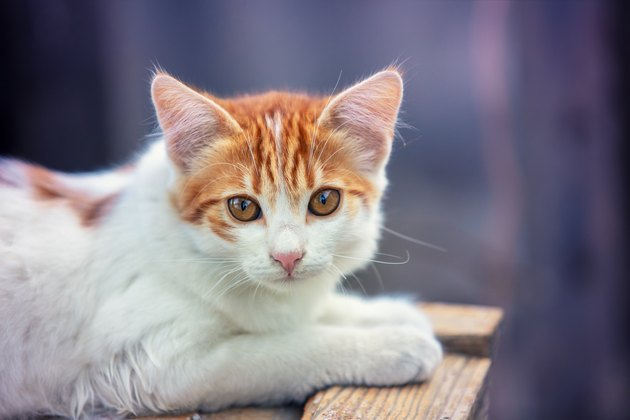 Portrait of a little red white kitten outdoors. Funny cat lying in the yard