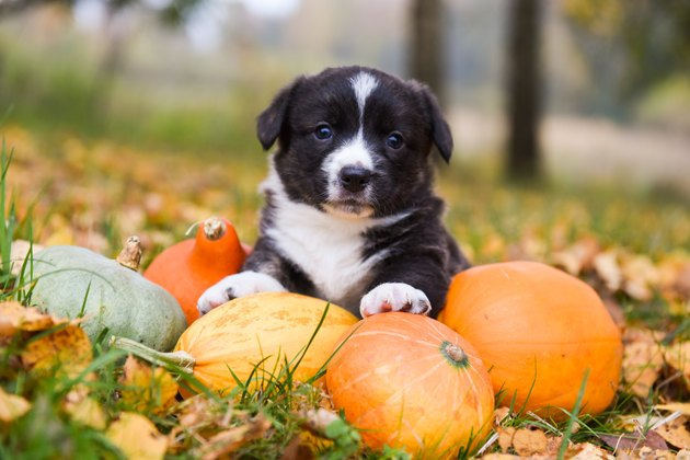 corgi puppy dog with a pumpkin on an autumn background