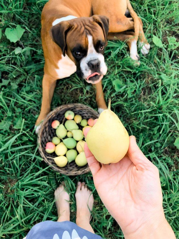 Dog and the pear