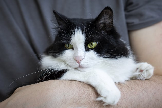 A cute black and white domestic cat sits in the owner's arms. Life style. Pets, veterinary medicine