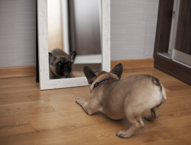 Puppy Facing His Reflection in the Mirror