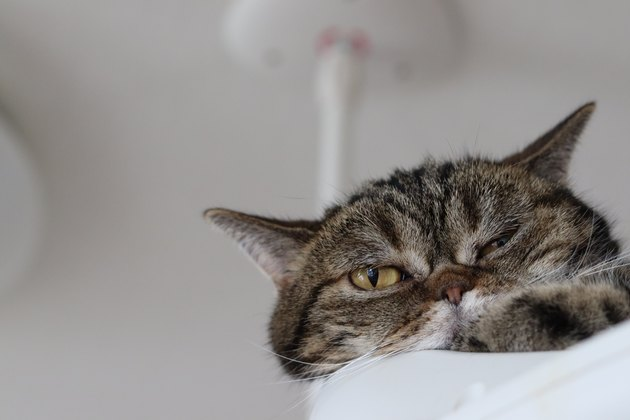 American shorthair cat relaxing in the cat tower.