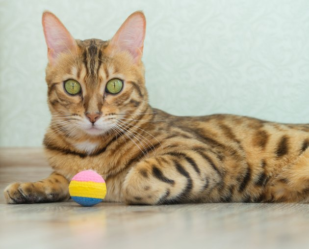 A beautiful spotted cat lies with a toy in the living room.