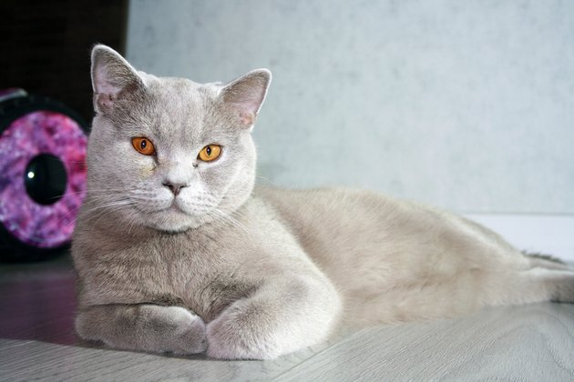 Portrait of cat of British Shorthair breed with blue gray fur.