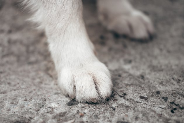 Paws of a huge friendly dog. White paws of the Alaskan Malamute close-up.