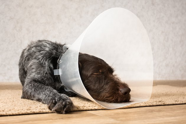sleeping dog with elizabethan collar