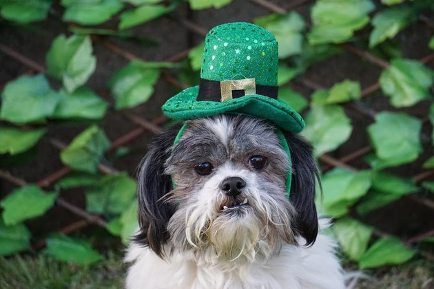 Black and White Shih Tzu Ready For St. Patty's Day
